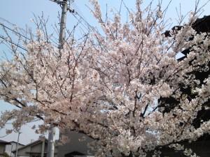 2012年桜①