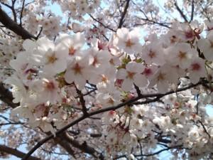2012年桜②